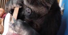 Koko, a gorila, com baixo de Flea
