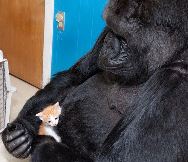Koko, a gorila, e seu gato de estimação