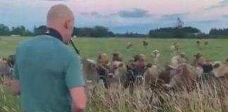 Homem toca saxofone para vacas