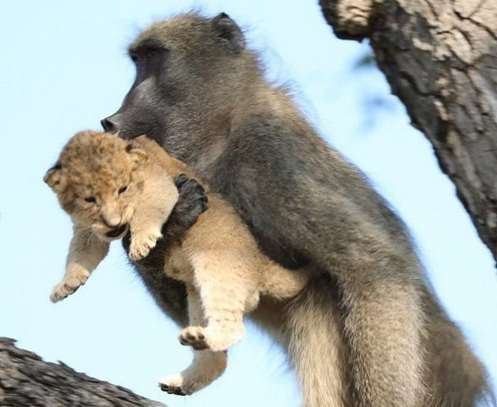 O Rei Leão Babuíno Filhote de Leão