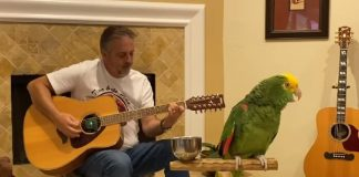 Papagaio canta clássicos do Rock